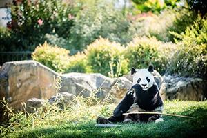 Panda 300x200